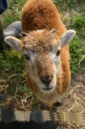 Soay sheep images