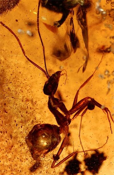 This ant was trapped more than 50 million years ago and is still in a comparatively good shape. Credit: University of Bonn