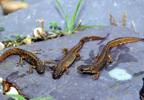 moving newts