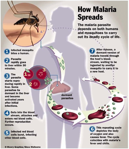 How malaria spreads